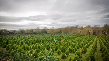 Derry Christmas tree farm takes the 'difficult but necessary' decision not to open this year