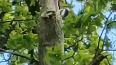 WATCH: Woodpecker in action in County Derry park