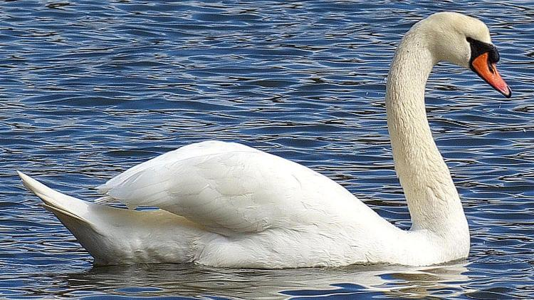 Dead swan in County Derry town tests positive for Avian Influenza